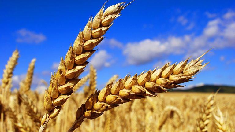 Качество зерна подтверждено